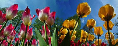 Photograph - Power Of Spring. Bugs Eye View Of Colourful Tulips Panorama With Clean Blue Sky Contrast. by Akshay Thaker-PhotOvation