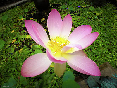 Photograph - Power Of The Lotus by Hannah Underhill