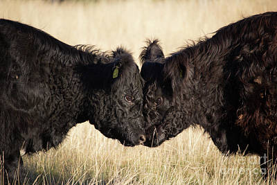 Opposing Forces Photograph - Headbutting Bulls In Richmond Park England by Paul Darvell