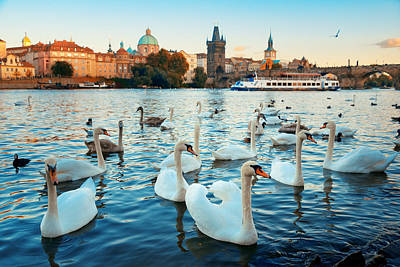 Photograph - Prague Swan by Songquan Deng