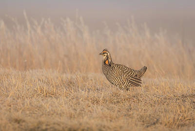 Prairie Chicken 5-2015 Art Print by Thomas Young