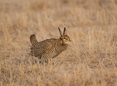 Prairie Chicken 6-2015 Art Print by Thomas Young