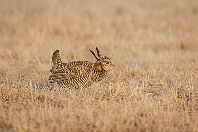Prairie Chicken 7-2015 Art Print by Thomas Young