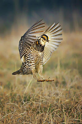 Photograph - Prairie Chicken - Booming by Nikolyn McDonald