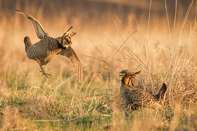 Photograph - Prairie Chicken Dispute by Scott Bean