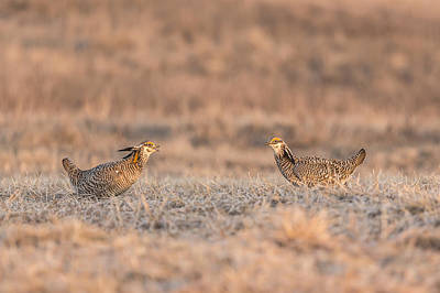 Prairie Chickens 2013-1 Art Print by Thomas Young