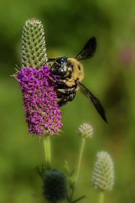 Photograph - Prairie Clover And The Bee by Garry McMichael