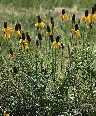 Photograph - Prairie Coneflower by Ann E Robson