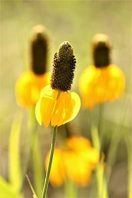 Photograph - Prairie Coneflower In Morning Light by Sheila Brown