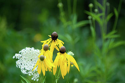 Photograph - Prairie Coneflower by Steve Stuller