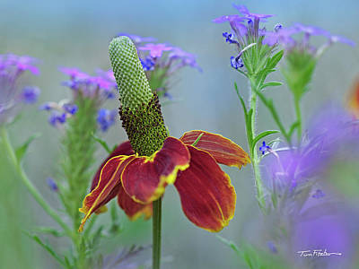 Photograph - Prairie Coneflower by Tim Fitzharris