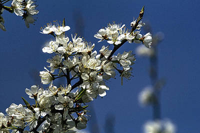 Photograph - Prairie Crabapple In Bloom by Roger Passman