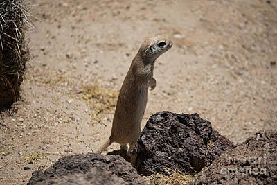 Photograph - Prairie Dog by Anne Rodkin