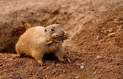 Photograph - Prairie Dog by Bonnie Fink