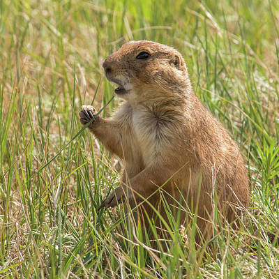 Photograph - Prairie Dog by Brenda Jacobs