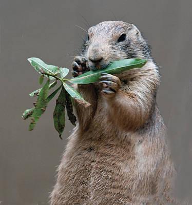 Photograph - Prairie Dog Eating Leaf by William Bitman