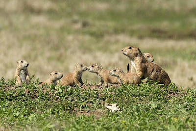 Photograph - Prairie Dog Family 7270 by Donald Brown