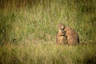 Photograph - Prairie Dog Hugs by Susan Rissi Tregoning