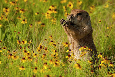 Photograph - Prairie Dog Lunch by Katherine Worley