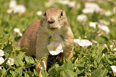 Photograph - Prairie Dog by Nancy Landry