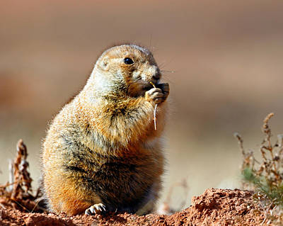 Photograph - Prairie Dog Portrait by Nicholas Blackwell