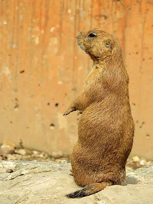 Photograph - Prairie Dog Profile by Robin Regan