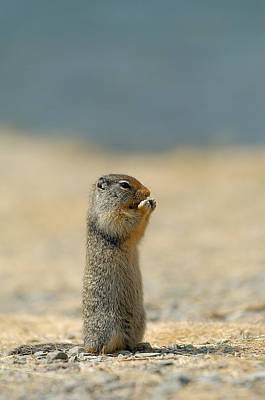 Photograph - Prairie Dog by Sebastian Musial