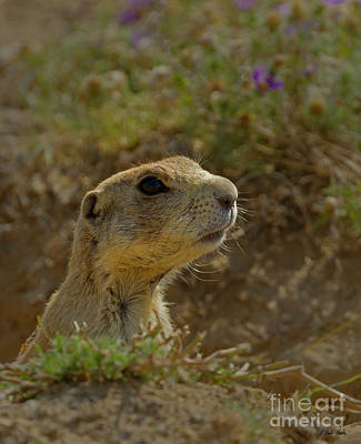 Photograph - Prairie Dog-signed-#8347 by J L Woody Wooden