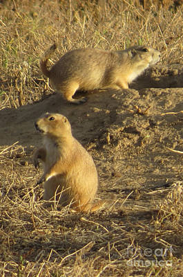 Photograph - Prairie Dogs by Frank Townsley