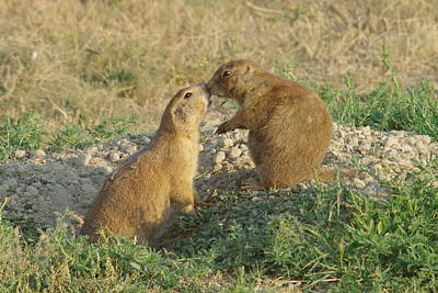 Birds Rights Managed Images - Prairie Dogs Kissing Royalty-Free Image by Jeff Swan