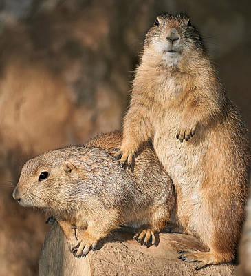 Prairie Dog Photograph - Prairie Dogs Portrait by Charles Muziani