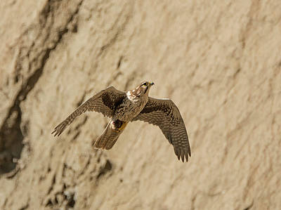 Photograph - Prairie Falcon In Flight by Loree Johnson