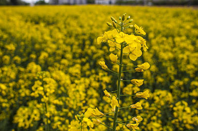 Photograph - Prairie Fields Of Yellow by Miguel Winterpacht