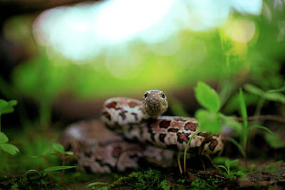Photograph - Prairie Kingsnake by Kyle Findley