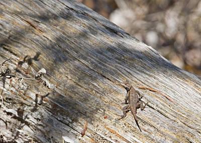 Photograph - Prairie Lizard _ 1a by Walter Herrit