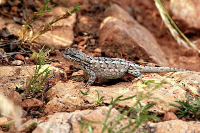 Photograph - Prairie Lizard by Trent Mallett