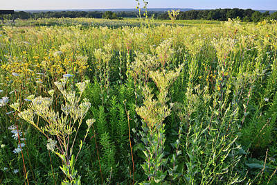 Photograph - Prairie Of Indian Plantain At Marengo Ridge Conservation Area by Ray Mathis