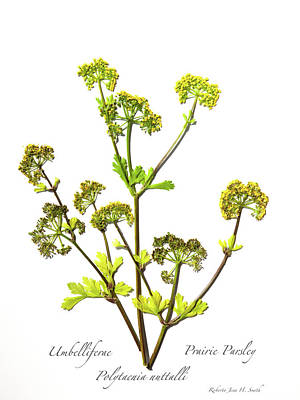 Photograph - Prairie Parsley by Roberta Jean Smith