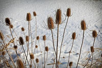 Snow Seeds Photograph - Prairie Seedheads by Steve Gadomski