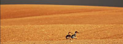 Animals Digital Art - Prairie Storm and ducks Canada by Mark Duffy