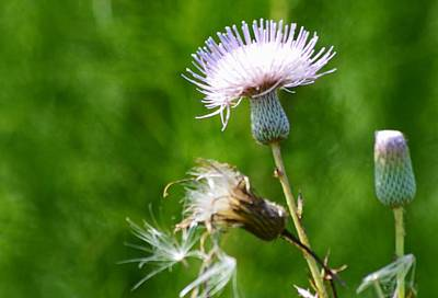 Photograph - Prairie Thistle Light by Warren Thompson