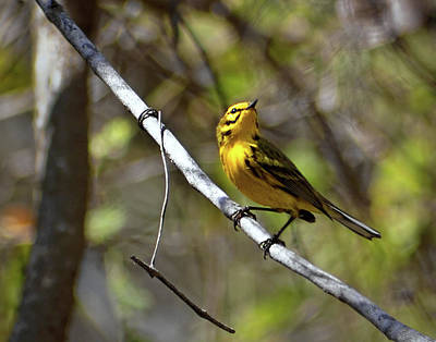 Photograph - Prairie Warbler I by Dawn Currie