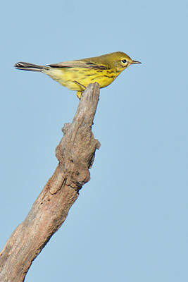 Photograph - Prairie Warbler On Perch by Alan Lenk