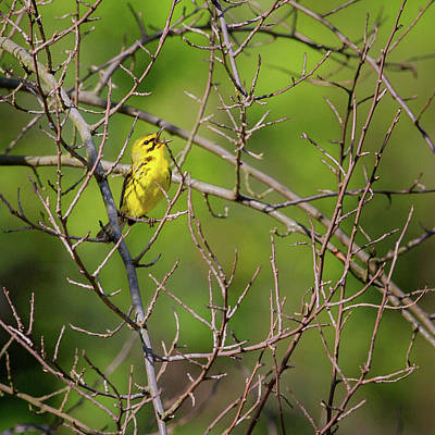 Photograph - Prairie Warbler Square by Bill Wakeley