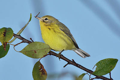 Photograph - Prairie Warbler With Caterpillar by Alan Lenk