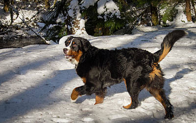 Photograph - Prancing Bernese Mt Dog by Jean Noren