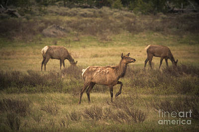 Photograph - Prancing Elk by Robert Bales