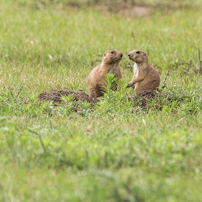Photograph - Prarie Dog Lovebirds by Brenda Jacobs