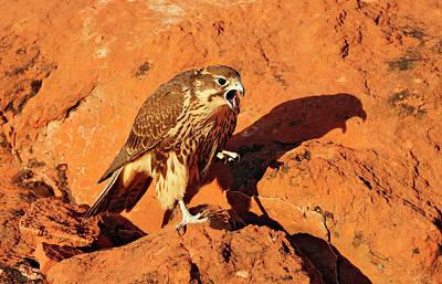 Prarie Falcon Art Print by Dennis Hammer
