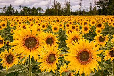 Photograph - Prayers For Maria Sunflowers by Dale Kincaid